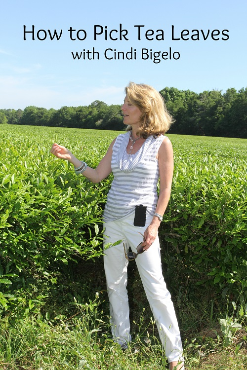 Picking Tea Leaves with Cindi Bigelow 4