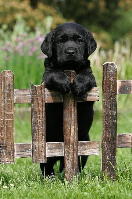 Dogs are better Black Lab pup