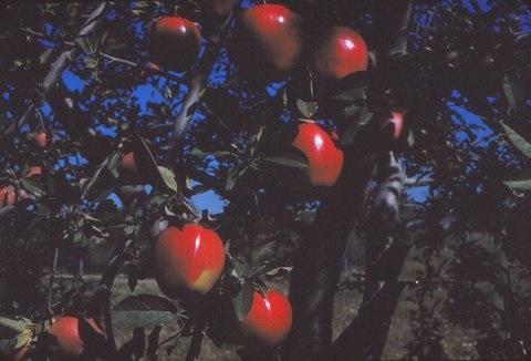 grandpas apple orchard