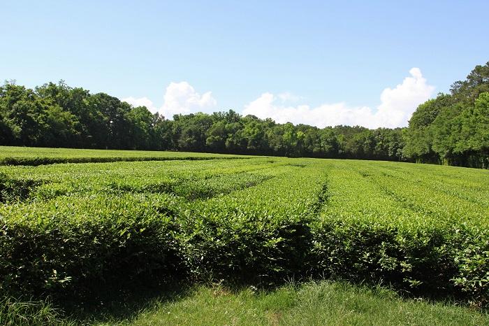#AmericasTea #shop Charelston Tea Plantation Tea Bushes