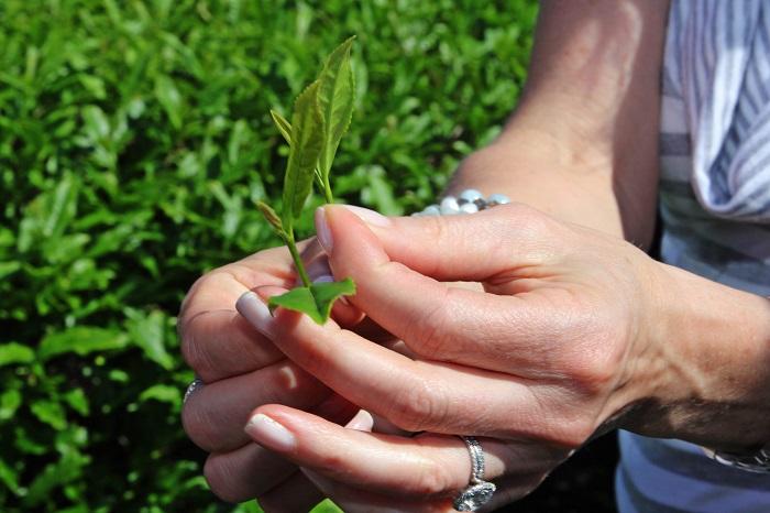#AmericasTea #shop Picking Tea Leaves with Cindi Bigelow 3