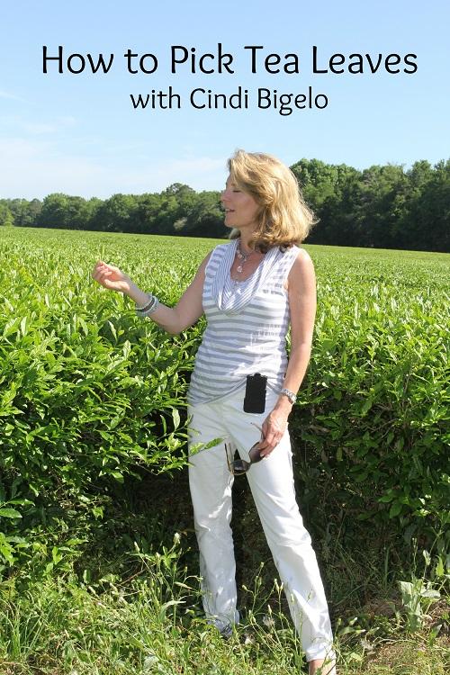 Picking Tea Leaves with Cindi Bigelow 4